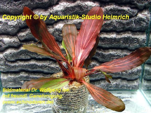 Echinodorus 'DEEP PURPLE'