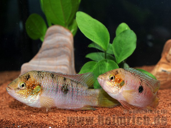 Hemichromis spec. Gabun Rot, Zuchtpaar (Gelbflossen-Juwelenbuntb