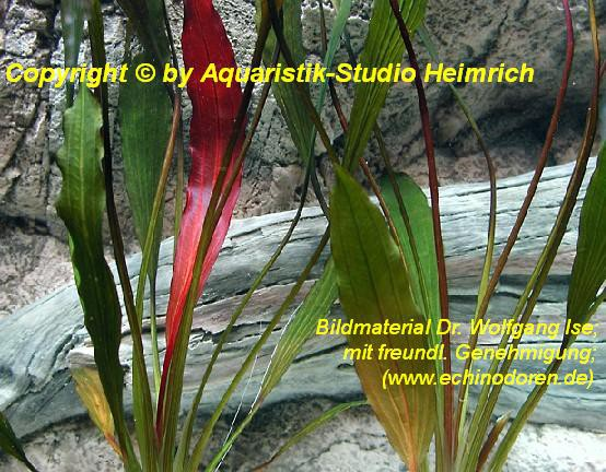Echinodorus Dschungelstar Nr. 1 (E01 Echin. horemani ähnl., Fa. D