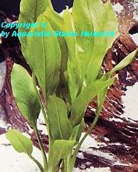 Echinodorus bleherae, small (Große Amazonas-Schwertpflanze)