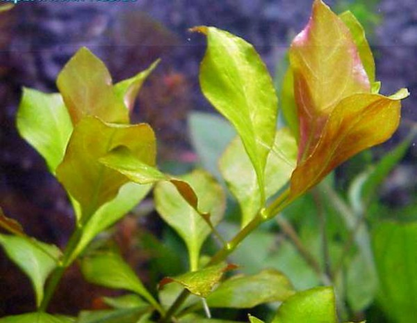 Ludwigia mullertie 'Auslese rot'