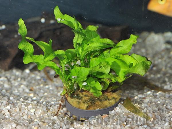 Microsorium pt., spec. undulatus
