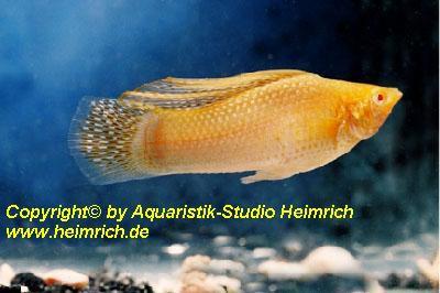 "Segelkärpfling ""GOLD albino"", lg (Xiph. velifera, spec.GOLD albi"