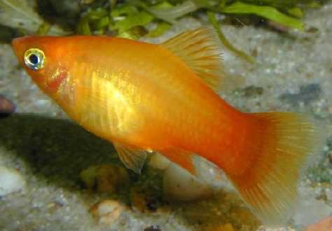 "Platy ""Sunset"", lg (Xiph. mac., spec. Sunset)"
