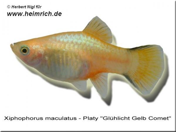 """Platy PREMIUM-""""Glühlicht Gelb Comet"""", lg (Xiph. mac., spec.)"""