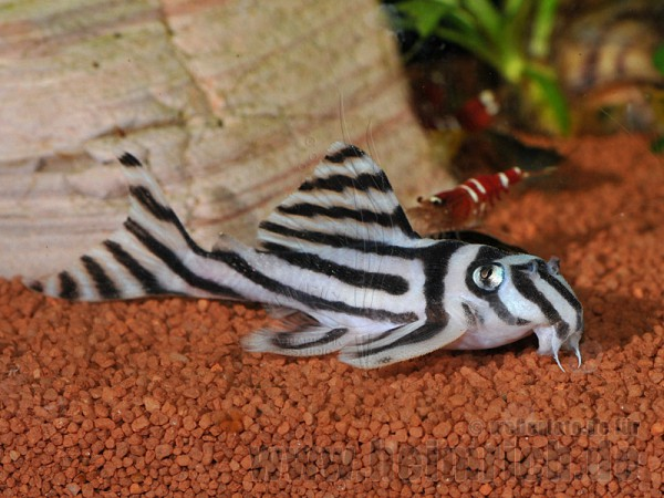 L046 Zebra-Harnischwels, 6cm (Hypancistrus zebra)