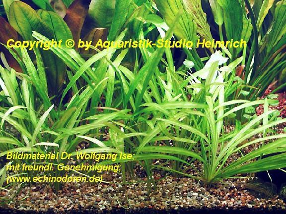 Echinodorus grisebachii