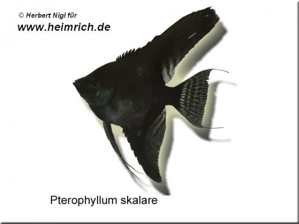 "Skalar ""BLACK"", medium (Pterophyllum Scalare)"