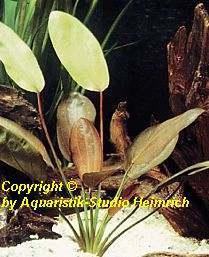 Echinodorus E132, XXL (Echinodorus barthii, Fa.Dennerle)