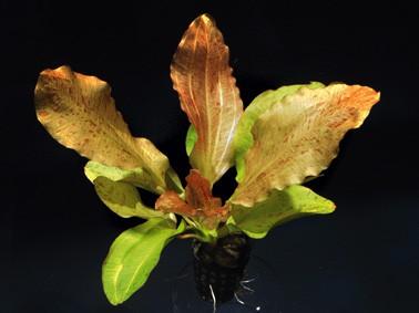 Echinodorus Dschungelstar Nr. 8 (E08 Echin. OZELOT GOLD, Fa. Denn