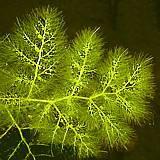 Utricularia spec.