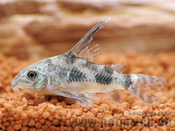 Corydoras paleatus long fin, 3cm (Marmor-Panzerwels)