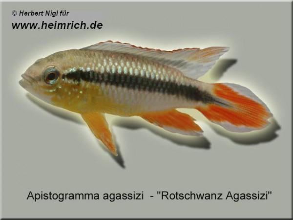 Apistogramma agassizi, Intensiv Red XL (Rotschwanz Agassizi)