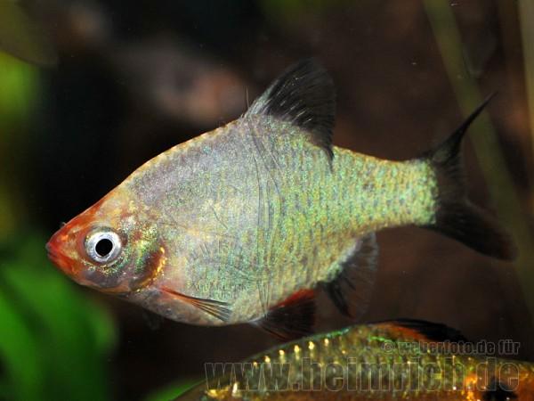 Barbus tetrazona spec. 'Platinum' (Sumatrabarbe spec. 'Platinum'