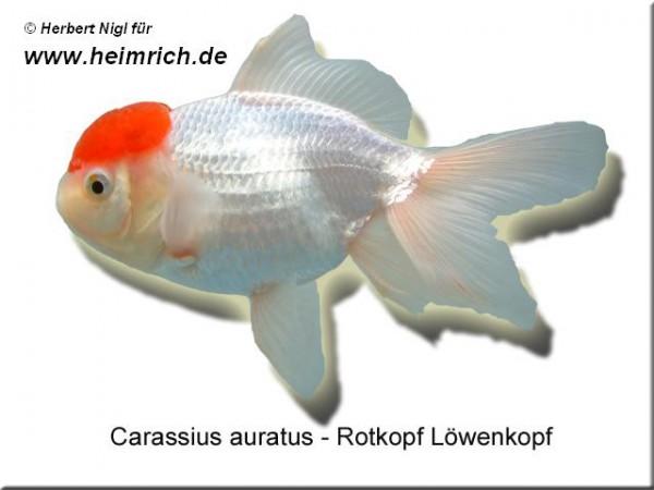 Rotkopf Löwenkopf, 6cm (Carrasius auratus)