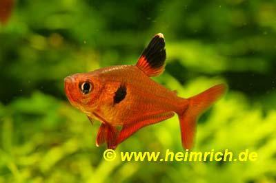 Roter Phantomsalmler, large (Hyphessobrycon sweglesi)