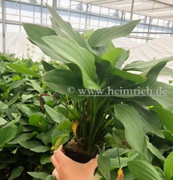 Echinodorus argentiniensis XXL (Mutterpflanze)