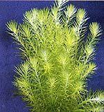 Mayaca fluviatilis (Grünes Mooskraut)