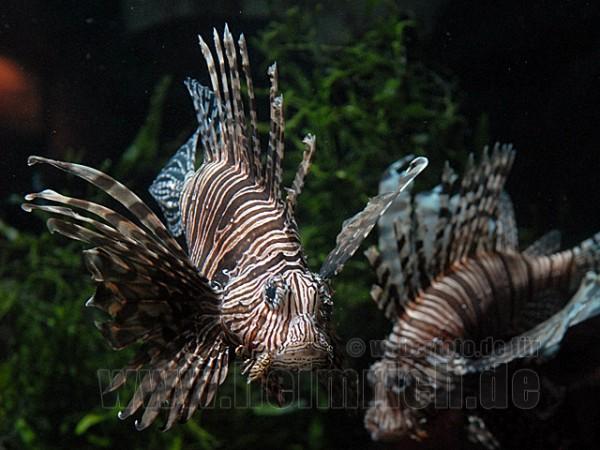 Antennen-Rotfeuerfisch, med. (Pterois antennata)