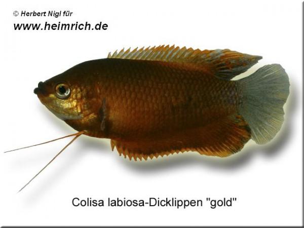 """Dicklippiger Fadenfisch """"GOLD"""", lg (Colisa labiosa)"""