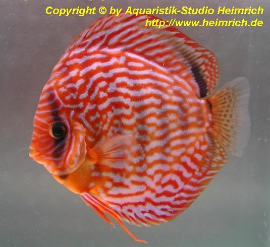 Diskus Rot Türkis - Größe 6,5cm