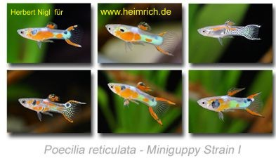 Guppy, Endler Miniguppy Strain 1 (gem. Farbvarianten)