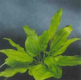 Echinodorus cordifolius, mini (Herzblättrige Schwertpflanze, min