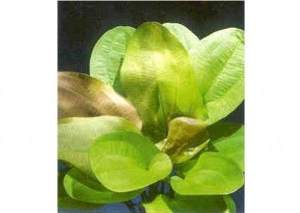 """Echinodorus cord. Harbig Rot (Herzbl. Schwertpflanze """"Harbig Rot"""