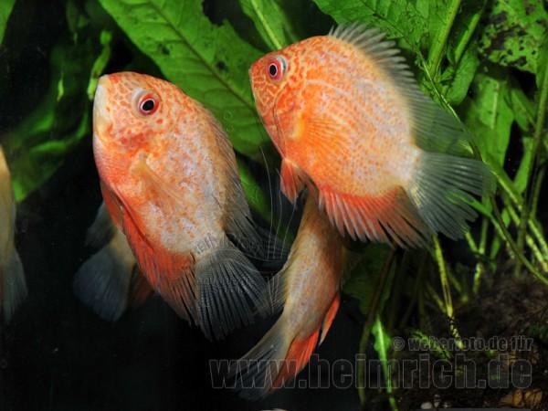 Cichlasoma serverum spec. Red Spotted, 9cm weibl.