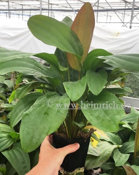 Echinodorus impaii XXL (Mutterpflanze)
