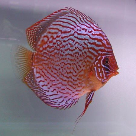 Diskus Red Scribbelt - Größe 5cm