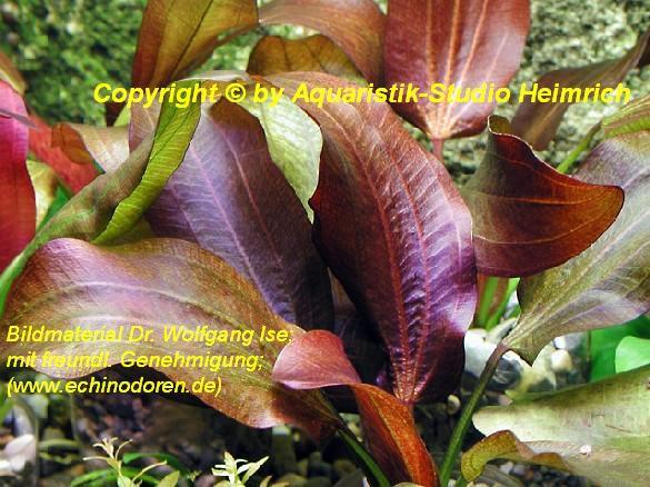 Echinodorus Dschungelstar Nr.10 (E10 Echin. Roter Leopard)
