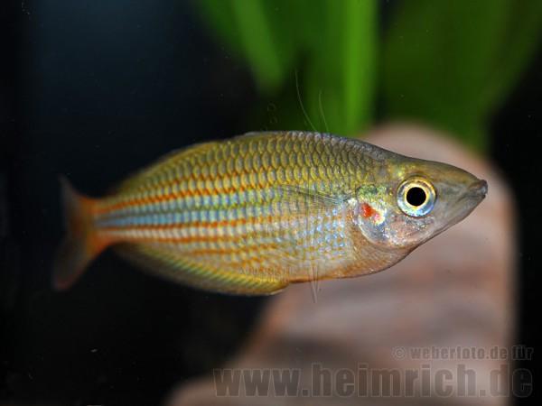 Melanotaenia trifasciata, 5 Stück (Juwelen-Regenbogenfisch)