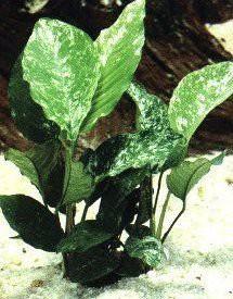 Anubia barteri, spec. variegata