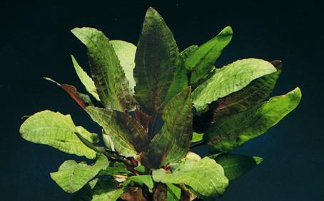 Cryptocoryne tropica