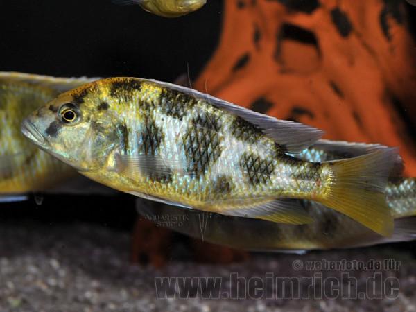 Nimbochromis venustus, XXL weibl.