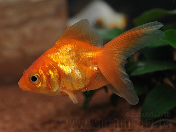 """Schleierschwanz, 6cm """"Uni-Rot"""" (Carrasius auratus)"""