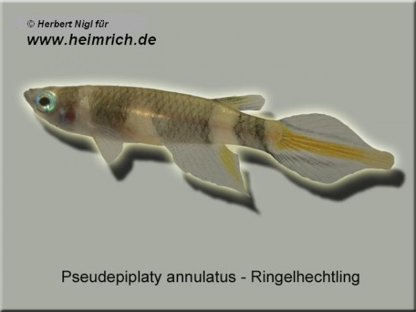 Ringelhechtling (Pseudepiplatys annulatus)
