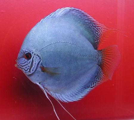 Diskus Kobalt - Größe 8cm