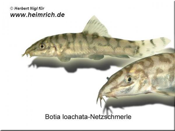 Botia lohachata (Netzschmerle)