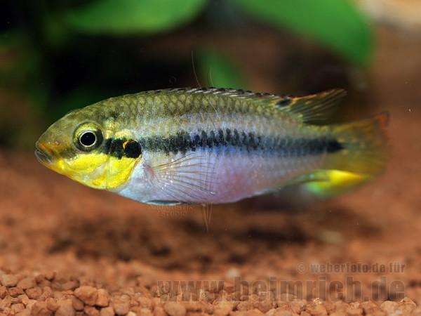 Pelviachromis subocellatus spec. Matadi, männl. (Prachtbarsche S