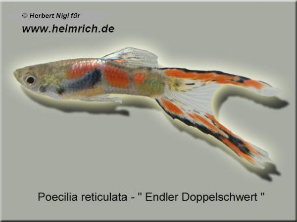 Guppy, Endler Doppelschwert (Poecilia reticulata)