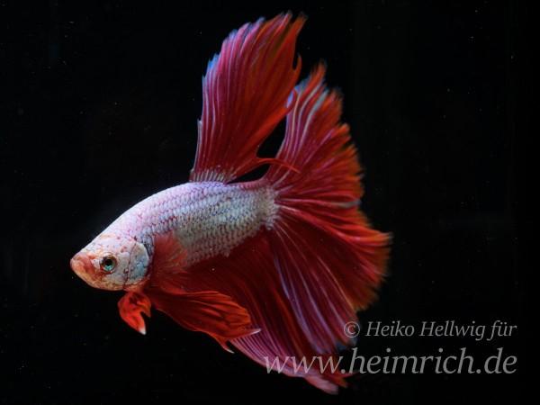 Siam. Kampffisch spec. Rosetail Red, lg (Betta splendens)