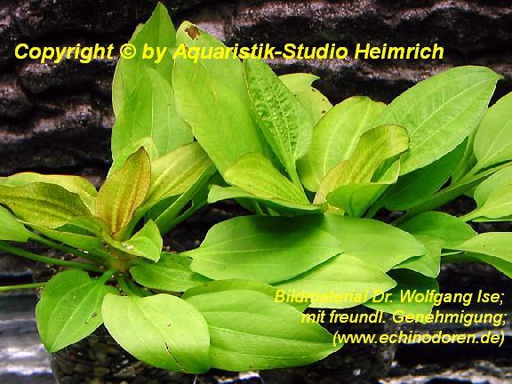 Echinodorus gabrielii (Gabriels Schwertpflanze)