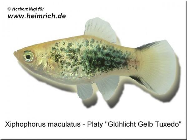 """Platy PREMIUM-""""Glühlicht Gelb Tuxedo"""", lg (Xiph. mac., spec.)"""