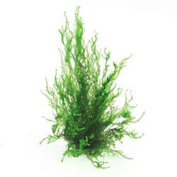 Taxiphyllum spec. Flammenmoos In-Vitro