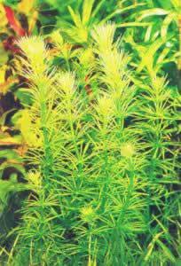 Bacopa myriophylloides
