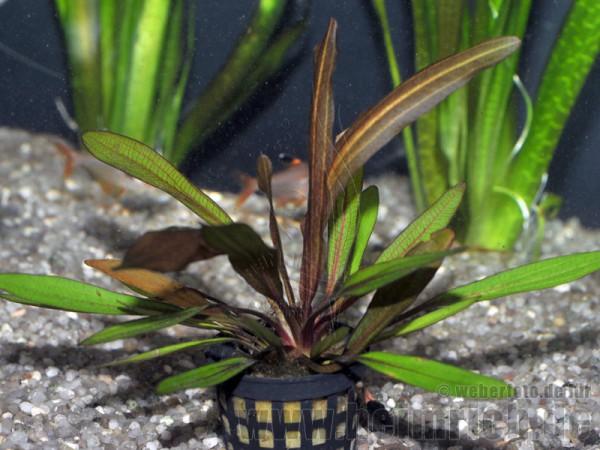 Echinodorus 'RED RUBIN compact'