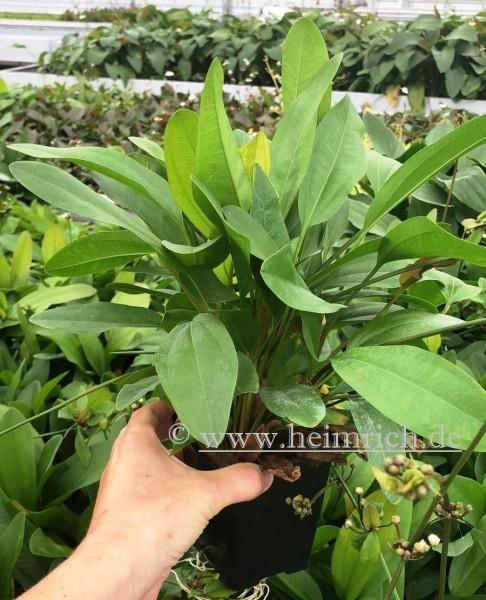 Echinodorus Reni XXL (Mutterpflanze)