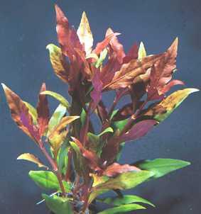 Alternanthera lilacina (Rotes Papageienblatt)